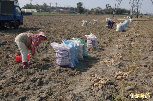 雲林縣大宗作物進入採收期,採收工資雖調高,但農民大嘆還是缺工。(記者陳燦坤攝)