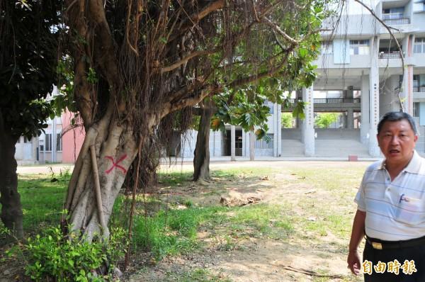 樹幹被劃紅色X的老榕樹,原本要被砍掉,學校已決定不砍了,會移植到學校附近的公園。(記者花孟璟攝)