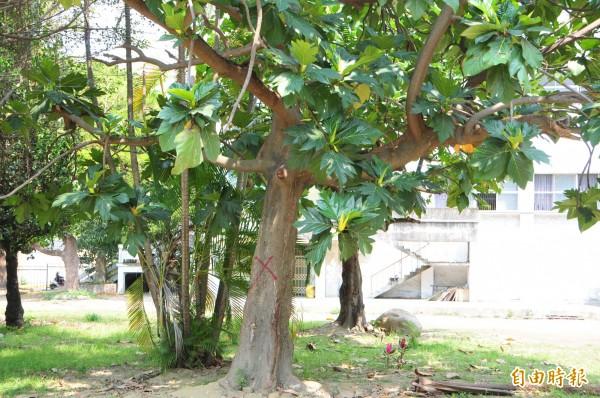 麵包樹幹也被做X記號,園藝公司曾建議「移植後存活率不高」,但因網友陳情已決定不砍,將移植到附近公園。(記者花孟璟攝)