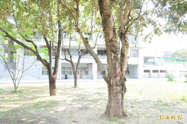 照片右邊這棵阿勃勒樹樹勢衰弱,樹幹被劃X記號,樹葉已經枯黃,校方說,移植存活率不高,還可能傳染疾病給其他樹,只能忍痛砍掉;至於後方兩棵也被劃X的樹,則已列入校內移植清單。(記者花孟璟攝)