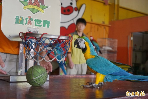 頑皮世界的金剛鸚鵡表演投籃。(記者楊金城攝)