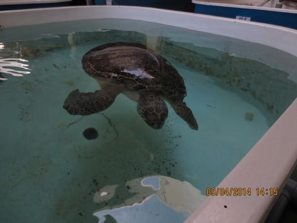 生病漂浮於海面的海龜,最常見的特徵就是露出水面上的背甲與海水交界處滿佈藻類。(海生館提供)