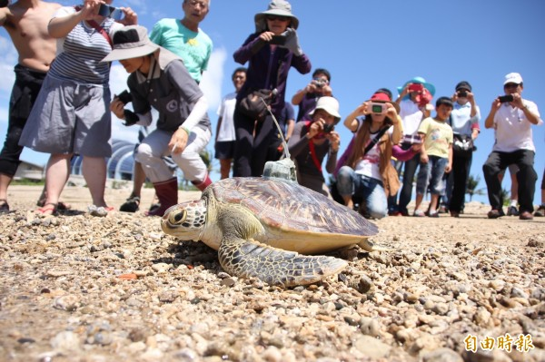 海龜呈漂浮且無法潛水的狀態,死亡率高逾可潛水海龜30倍。(記者陳彥廷攝)