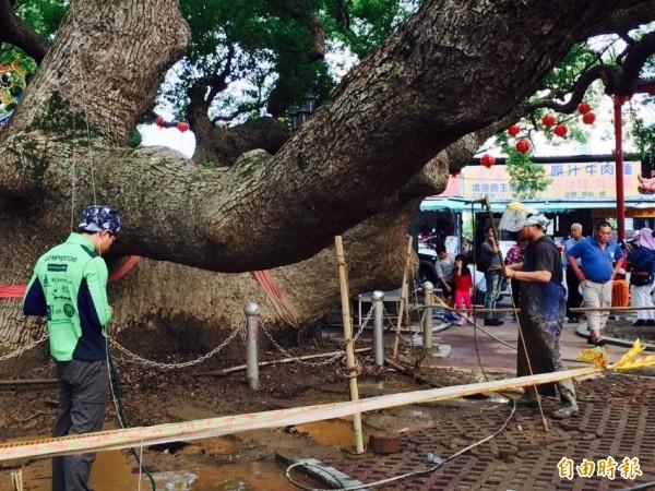 台灣老樹救援協會請來台日港救樹醫生替「生病」的台中月眉千年大樟樹把脈救援(記者陳品竹攝)