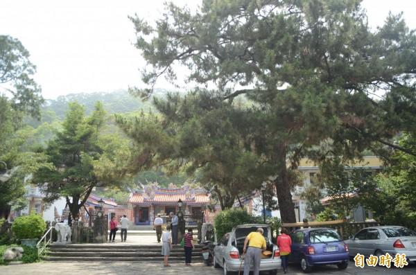 清水岩寺260年樹齡的二葉松驚傳罹「葉震病」。(記者顏宏駿攝)