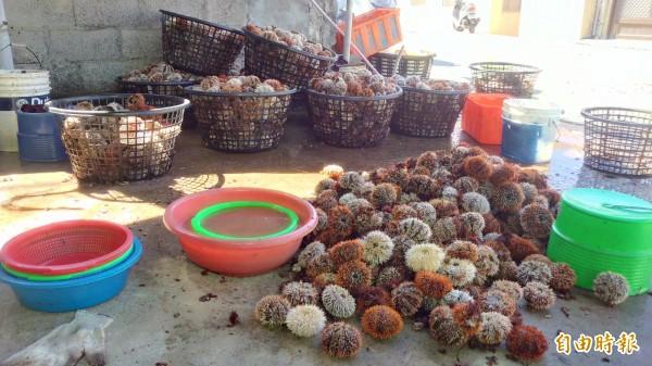 馬糞海膽開採收首日就堆積如山的豐收,外界擔憂不到數日就採集一空。(記者劉禹慶攝)