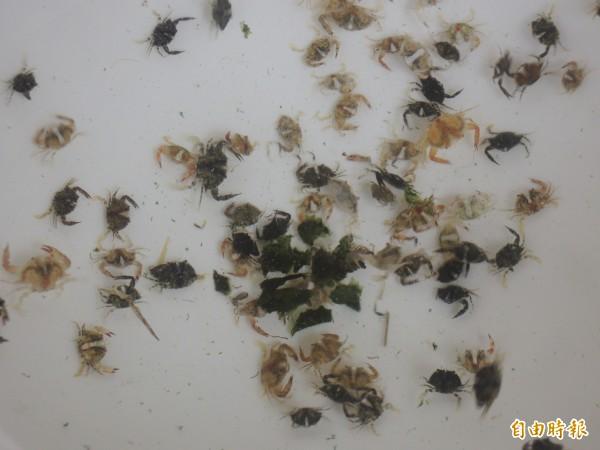 水試所澎湖海洋生物研究中心培育出的遠海梭子蟹苗約1至1.5公分。(記者劉禹慶攝)
