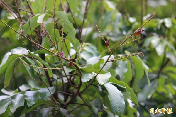 新竹縣各地的龍眼幼果被荔枝椿象的若蟲啃食殆盡。(記者黃美珠攝)