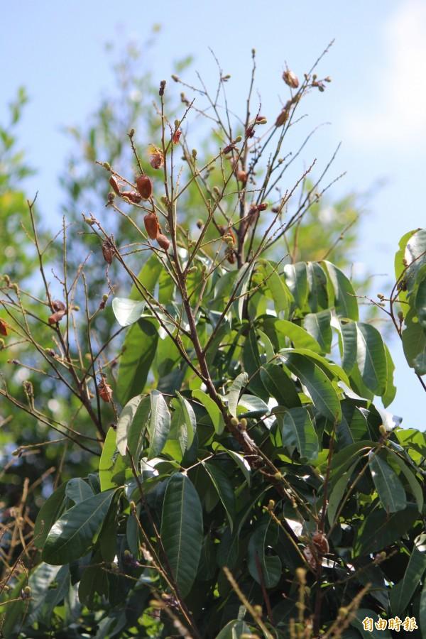 龍眼樹梢掛的不是龍眼果實,是一隻隻的荔枝椿象。(記者黃美珠攝)