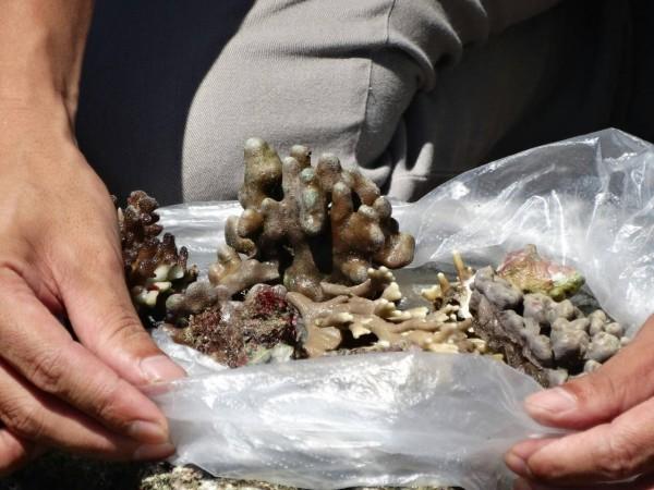 美麗的珊瑚被摘下,就「回不去了」。(保育志工陳玉霖提供)