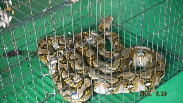 長約3公尺的網紋蟒,雞寮獵食被捕落網。(記者蘇福男翻攝)