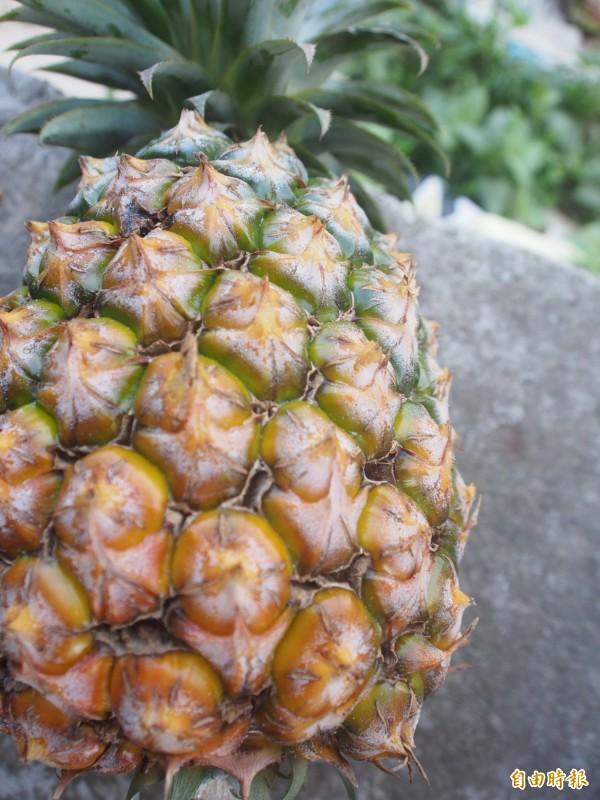 延平鳳梨受到天候影響,裂果嚴重,行口收購價低,甚至不願收購。(記者王秀亭攝)