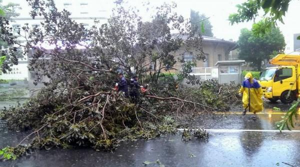 台南氣象站前的粉紅風鈴木,被強風吹倒了。(葉東泰提供)