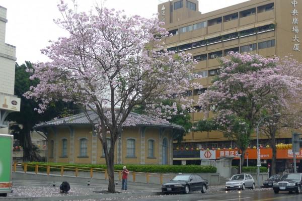 這棵粉紅風鈴木每年花期都吸引不少民眾前往賞花拍照。(晁瑞光提供)