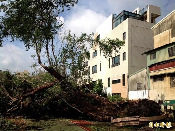 埋有白色恐怖受難者頭髮的金龜樹不敵風勢被吹倒。 (記者黃文鍠攝)