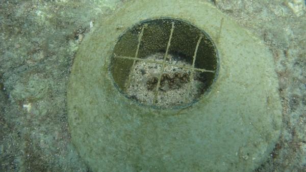 澎湖種苗繁殖場研發的金鐘罩,成為硨磲貝復育的利器。(陳盡川提供)