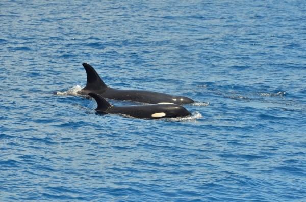 成功三仙台外海發現虎鯨。(東管處提供)
