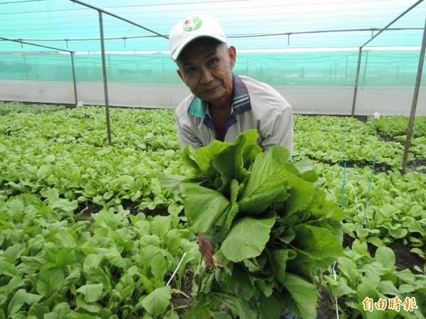 農試所成功培育出新品種芥菜台農二號,產量高,且抗病性高、耐熱。(記者黃淑莉攝)