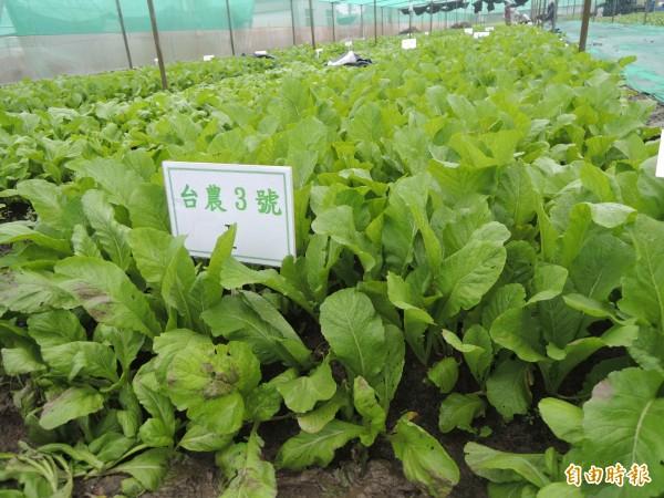 新品種芥菜台農三號,產量高、耐熱、抗病性高,株型高易採收、包裝。(記者黃淑莉攝)
