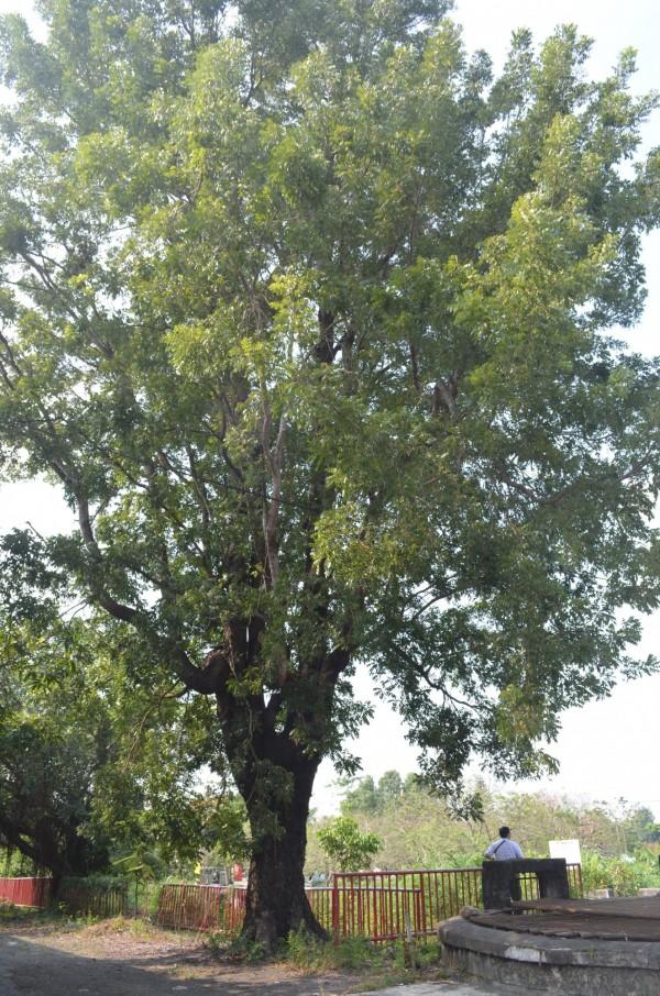 為屏東老樹過生日系列活動,11日將為鳥居信平親植的小葉桃花心木慶生。(圖由屏東縣政府文化處提供)