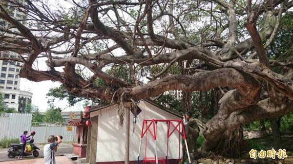 竹北市隘口伯公榕樹目前嚴重落葉,光禿模樣令地方居民很不捨。(記者廖雪茹攝)