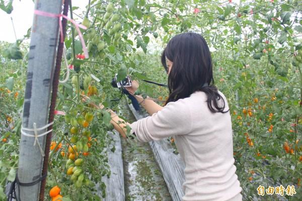 高雄市農業局邀請餐飲業者參訪美濃番茄園,瞭解農產種植情形。(記者陳祐誠攝)