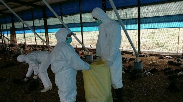 彰化縣大城鄉一處土雞場爆發禽流感,撲殺1萬375隻土雞。(圖由彰化縣動物防疫所提供)