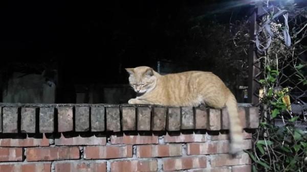 疑似遭到虐殺的流浪貓「大橘子」。(記者王冠仁翻攝)