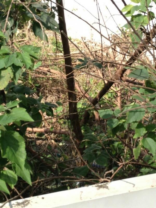 台鐵樹林站電車線故障,經查為枯樹枝幹被風吹倒,碰觸到電線所致。(台鐵提供)