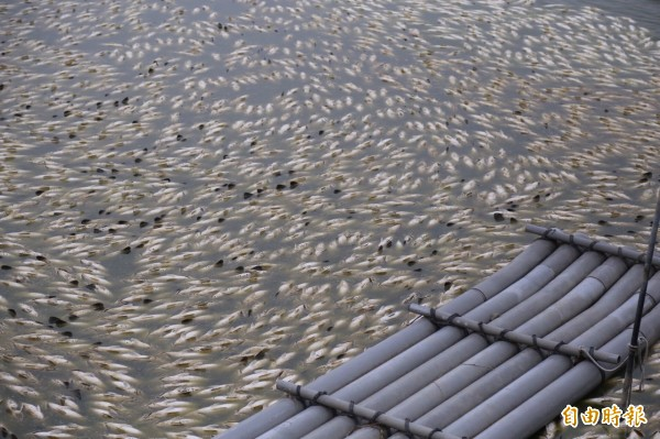 凍死魚屍遍布慘不忍睹景況。(記者蔡宗勳攝)