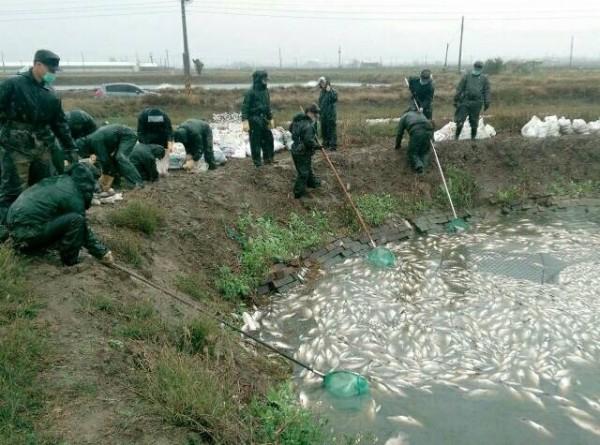 國軍弟兄拹助打撈魚屍。(布袋鎮公所提供)
