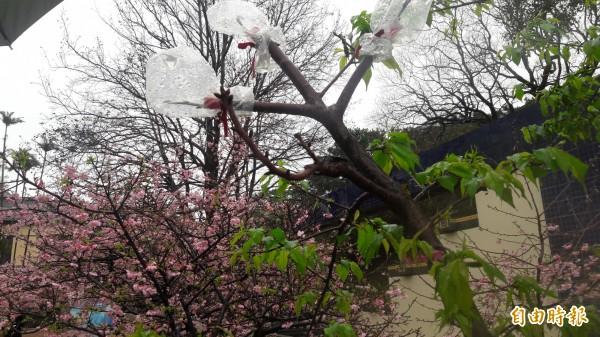 新竹公園內的櫻花林,今年出現一棵變種櫻花,一株可開60朵以上的花,是世界上獨有品種,新竹公園育櫻會開放市民來命名。(記者洪美秀攝)