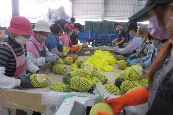 屏東鳳梨外銷,中國訂單增。(圖由屏東縣政府提供)