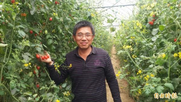 董芳彬的有機小蕃茄園有如愛心農園。(記者楊金城攝)