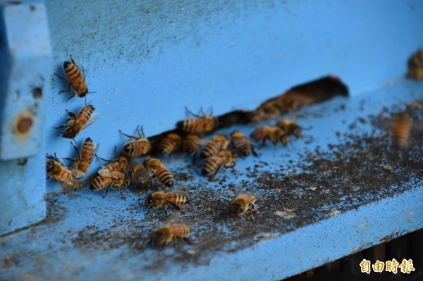 這陣子蜜蜂無花蜜可採,性情大變易怒、暴躁,經常相互攻擊。(記者蘇福男攝)