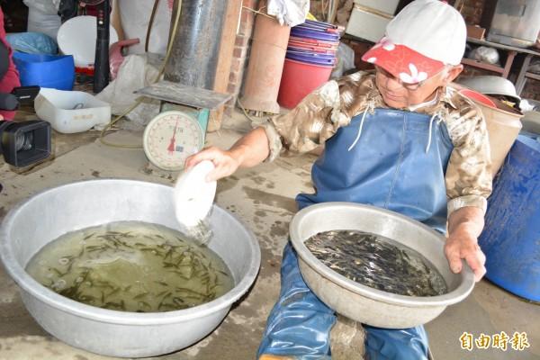 花壇鄉漁民吳東蓮以特殊口訣「數魚歌」來計算魚苗數量,有如歌謠傳唱。(記者湯世名攝)