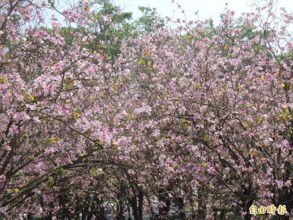 虎高校園印度櫻花盛開,讓人心醉。(記者廖淑玲攝)