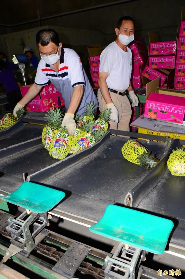關廟鳳梨嚴格分級,輸出的都是優質鮮果。(記者吳俊鋒攝)