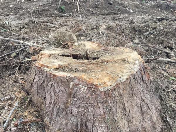 現場滿目瘡痍,樹頭散布各地堪稱「橫屍遍野」。(陳清圳提供)