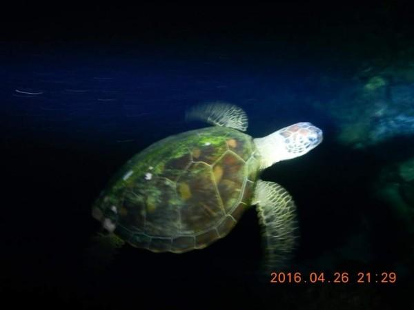 東吉島除了珊瑚產卵外,也傳出綠蠵龜現身。(高宏志提供)