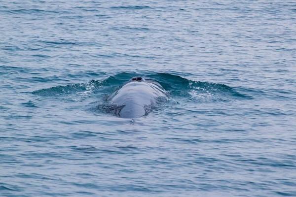 全球鯨魚可分成齒鯨和鬚鯨兩大類,齒鯨頭頂上只有一個氣孔,而鬚鯨則有兩個,相當特別。(多羅滿賞鯨業者提供)