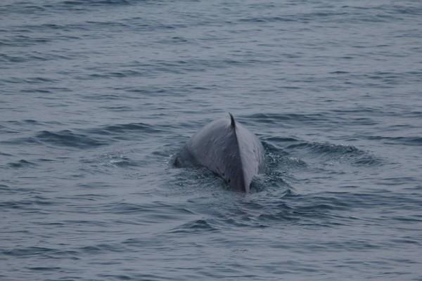 自2003年迄今,花蓮賞鯨團首次在4月26日於七星潭定置漁場附近,發現一隻難得一見的小鬚鯨,由於牠的停留時間較長,才讓海洋解說員有機會全程收錄到花蓮第一筆珍貴的小鬚鯨影像資料。(多羅滿賞鯨業者提供)