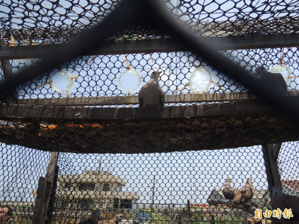 誤入捕鳥籠的紅鳩,苦望天空,等待重獲自由。(記者劉曉欣攝)