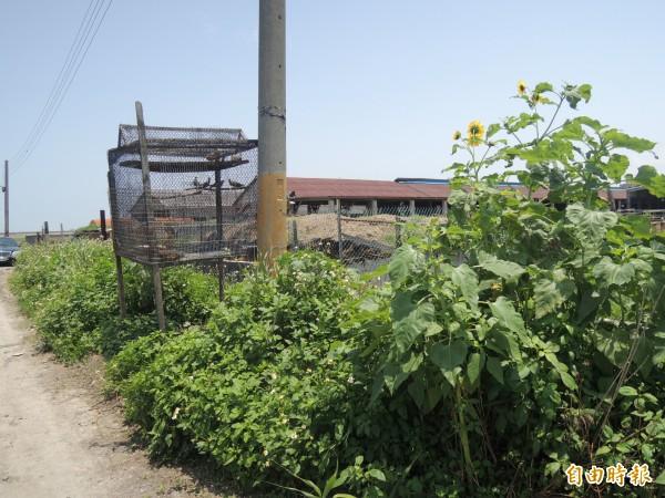 彰化縣福興鄉福寶村產業道路,有不肖業者放置捕鳥籠。(記者劉曉欣攝)