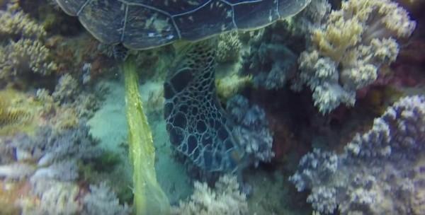 小琉球海龜因誤食塑膠袋而便秘。(擷取自影片)