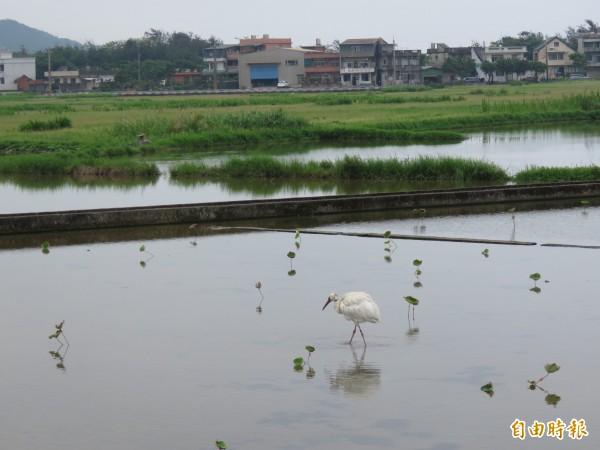 小白鶴回到熟悉的清水濕地。(記者林欣漢攝)