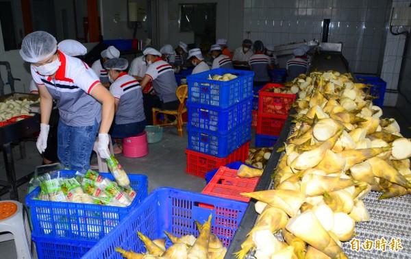 綠竹筍開始量產,關廟區農會啟動加工作業。(記者吳俊鋒攝)