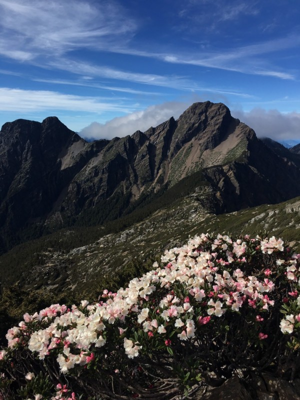 玉山杜鵑花開燦爛,現已達高峰期,從往北峰的路線向主峰看去,經典玉山杜鵑印象重現眼前。(玉管處提供)