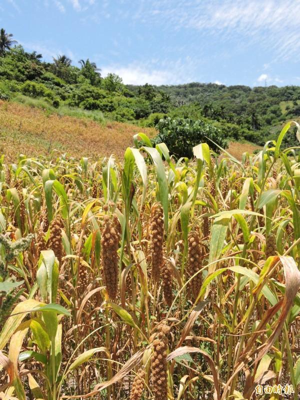 小米是台東南迴四鄉重要作物。(記者張存薇攝)