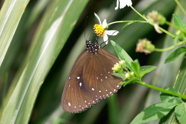 玉山塔塔加園區紫斑蝶南飛出現大爆發,斯式紫斑蝶預計未來幾週達到高峰。(玉管處提供)